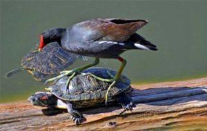 Chim ưng cắp rùa bay lên